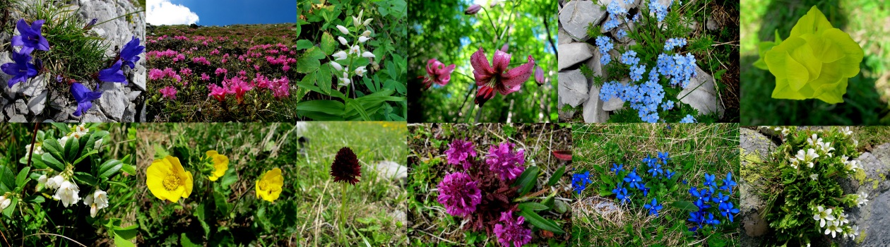 flori-de-munte-carpati