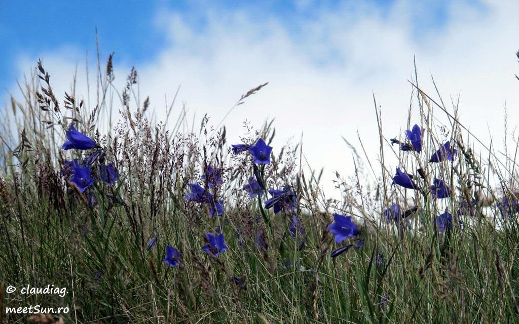 flori de camp, clopotei