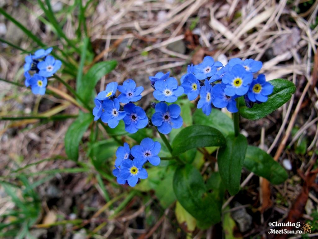 floare albastra - Nu-ma-uita