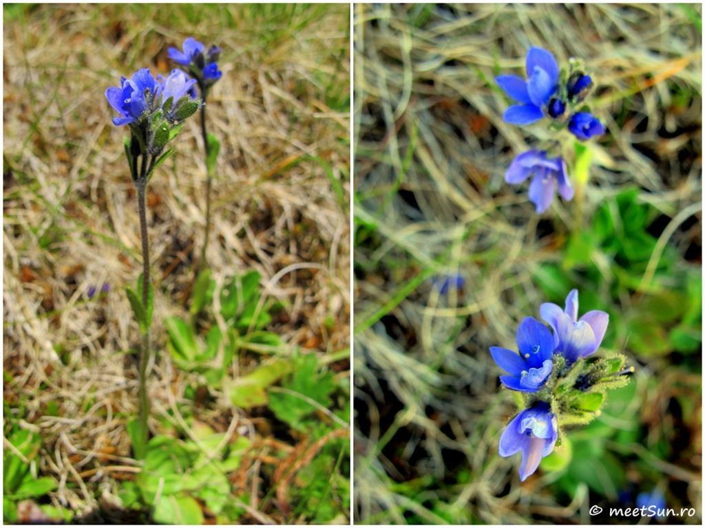 floare albastra - soparlita de munte