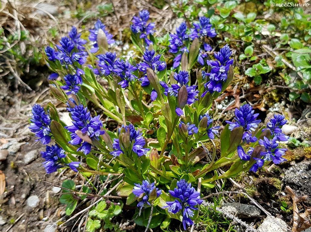 floare albastra - Amăreala