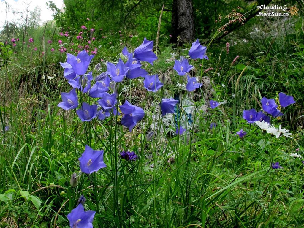 floare albastra - clopotei