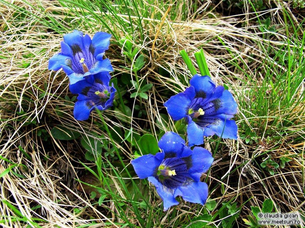 floare albastra - Gentiana acaulis