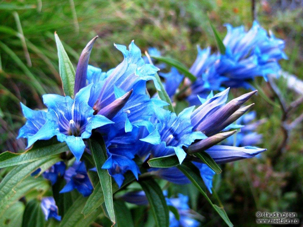 floare albastra Lumânărica pământului, Fierea pământului