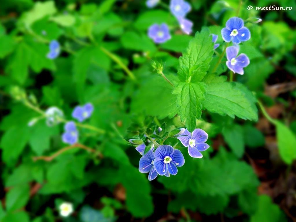 floare albastra - Stejarel