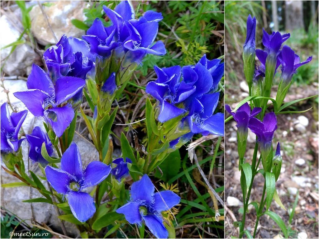 floare albastra Genţiană, Trâmbiţa ciobanului