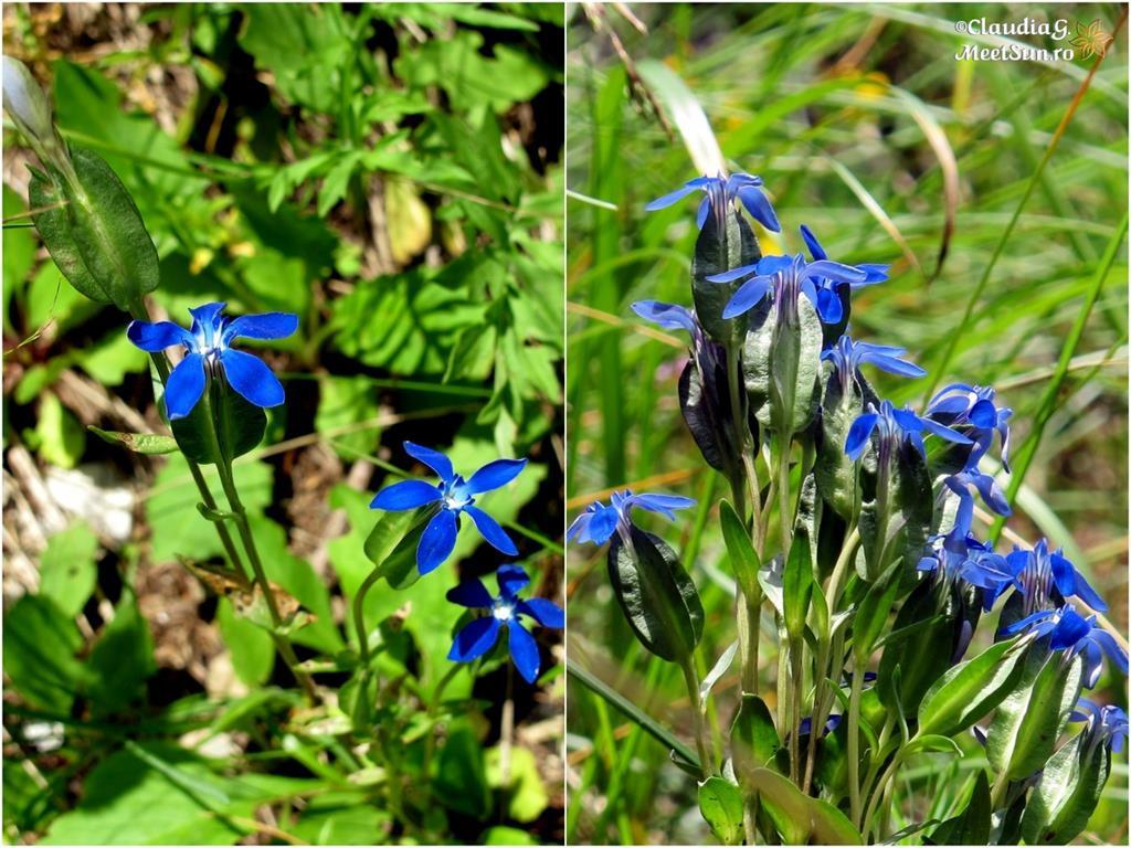 floare albastra - fierea pamantului