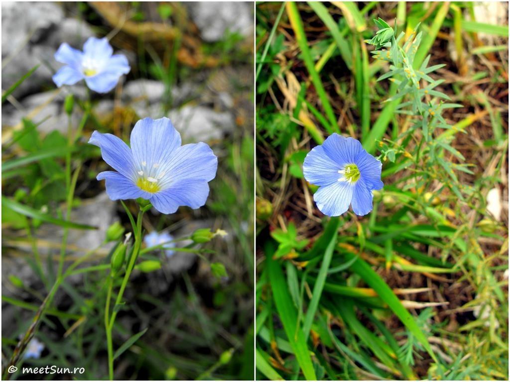 floare albastra - in de munte