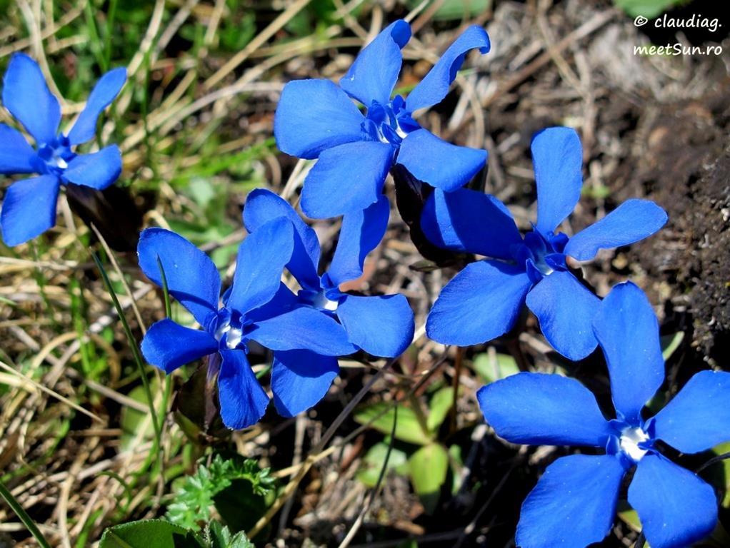 flori albastre - gentiana verna