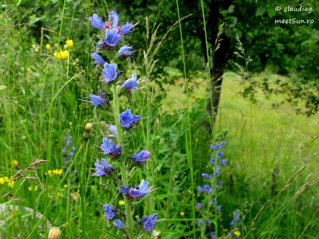 floare albastra - iarba sarpelui