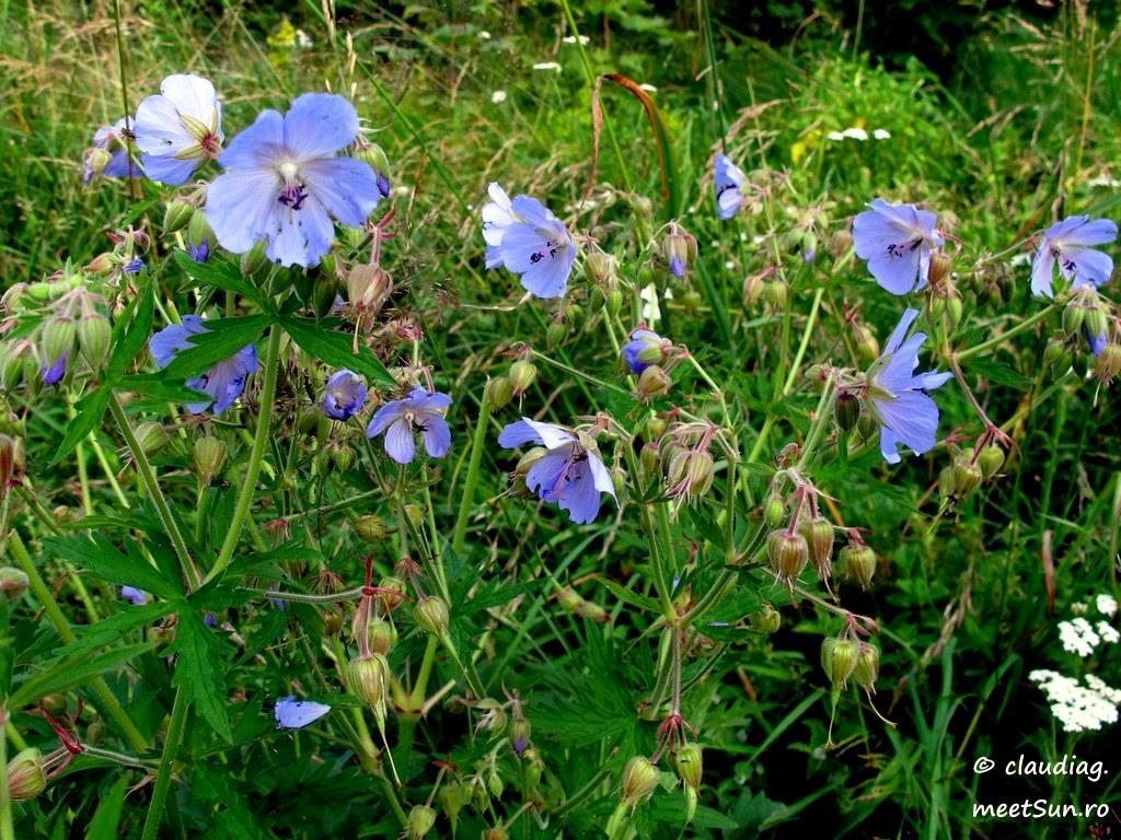 floare albastra - priboi