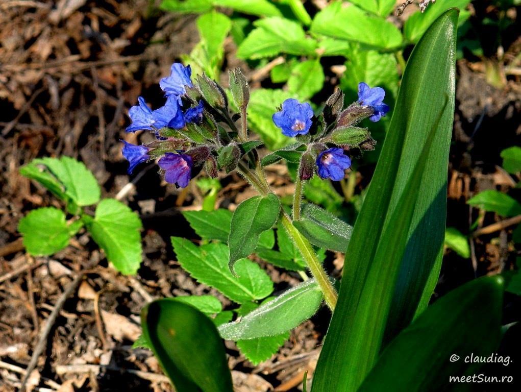 floare albastra - mierea ursului