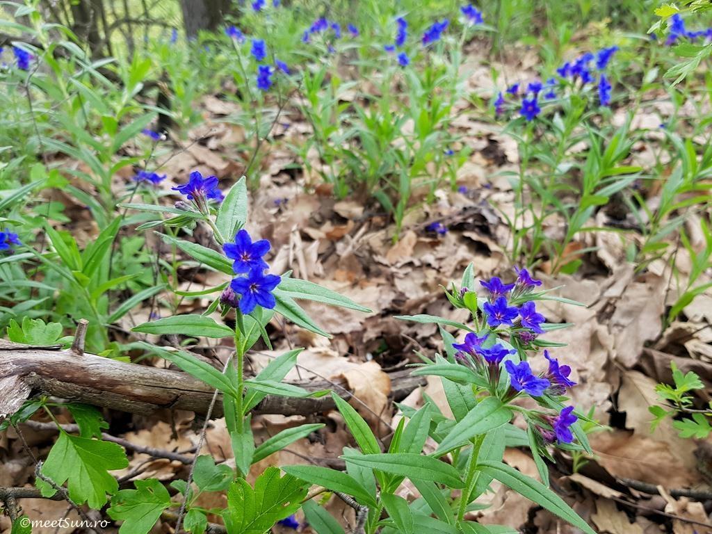 floare albastra - margeluse, meisor