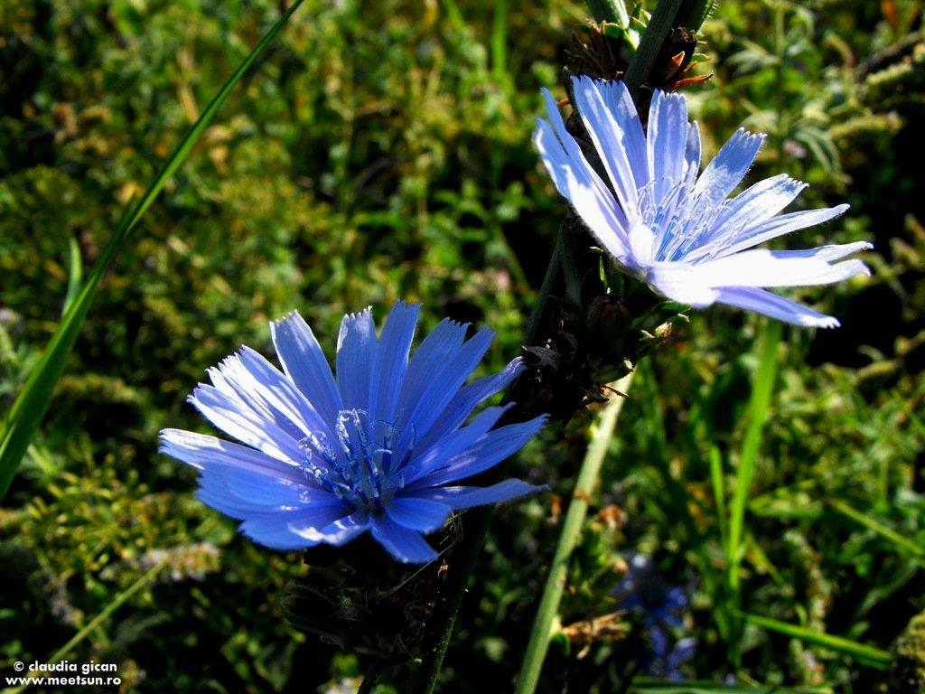 floare albastra - cicoare de camp