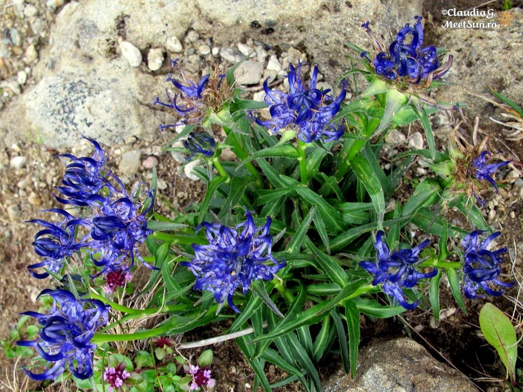 floare albastra - banica, schinuta