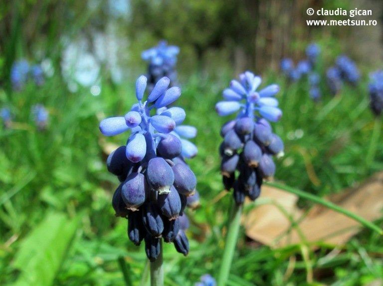 floare albastra, muscari