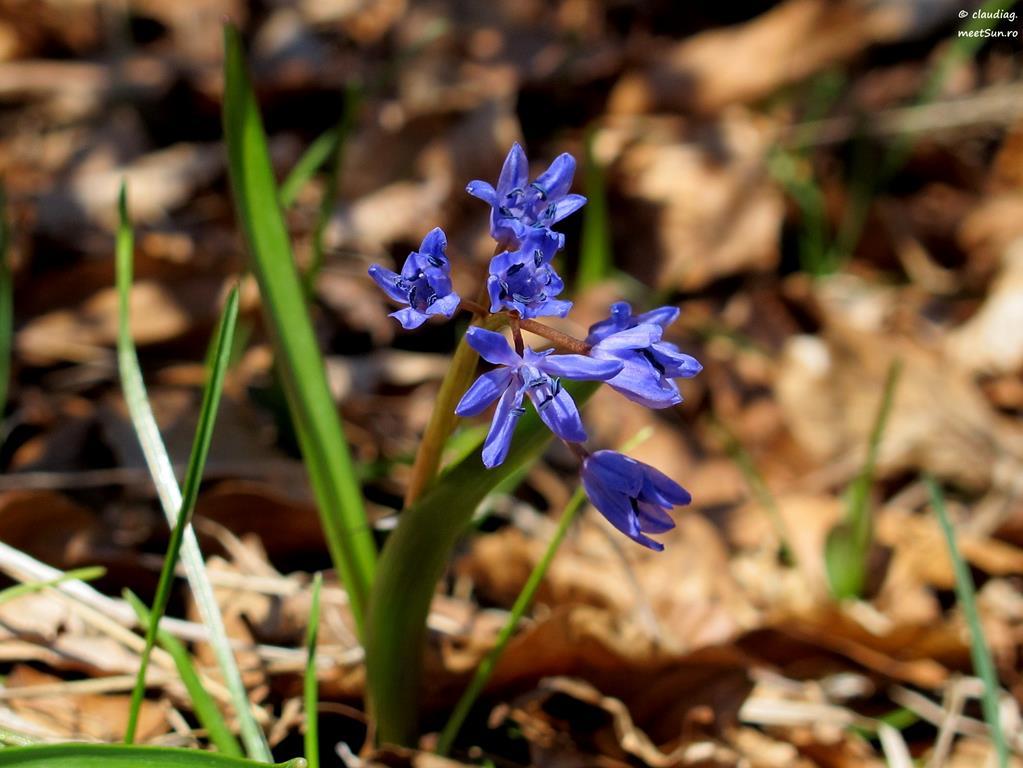 floare albastra - viorea