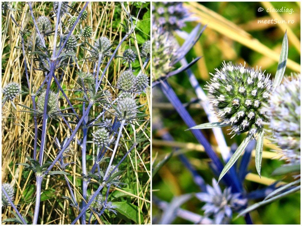 floare albastra - scai vanat