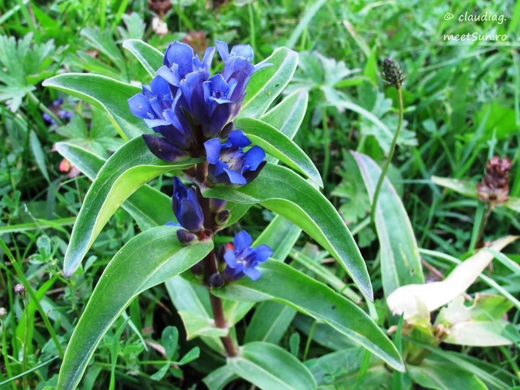 floare albastra - gentiana