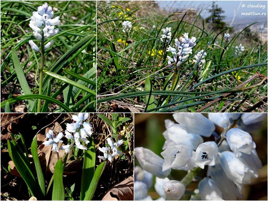 floare albastra - zambila salbatica