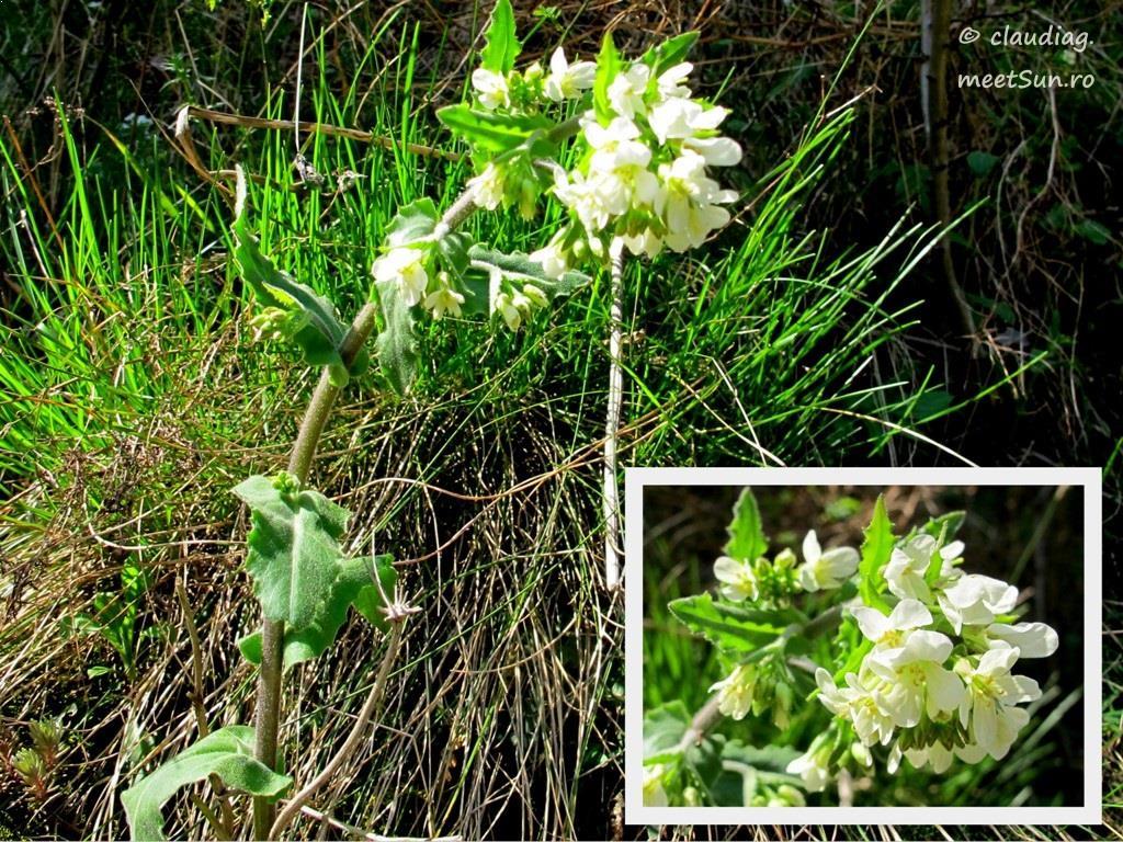 flori-albe-008-orhidee.jpg