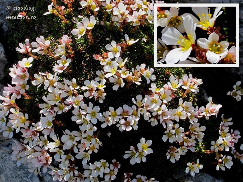 flori-albe-013-saxifraga.jpg