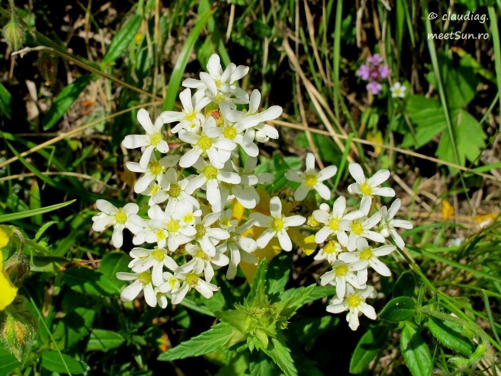 flori-albe-022.jpg
