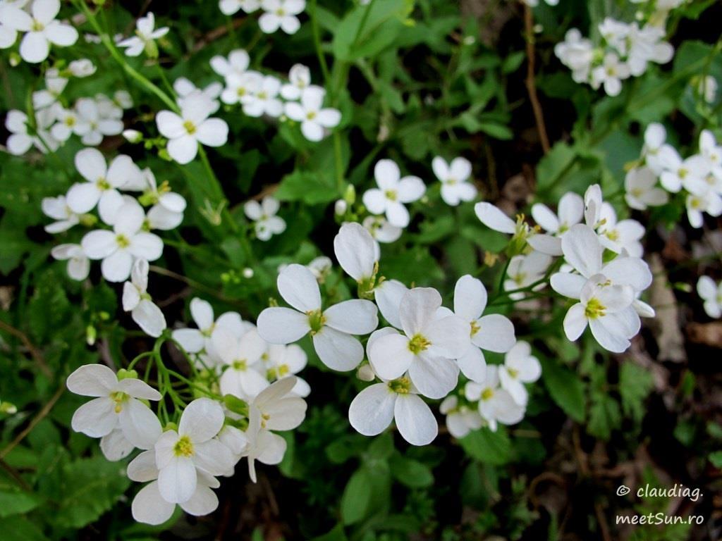 flori-albe-028.jpg