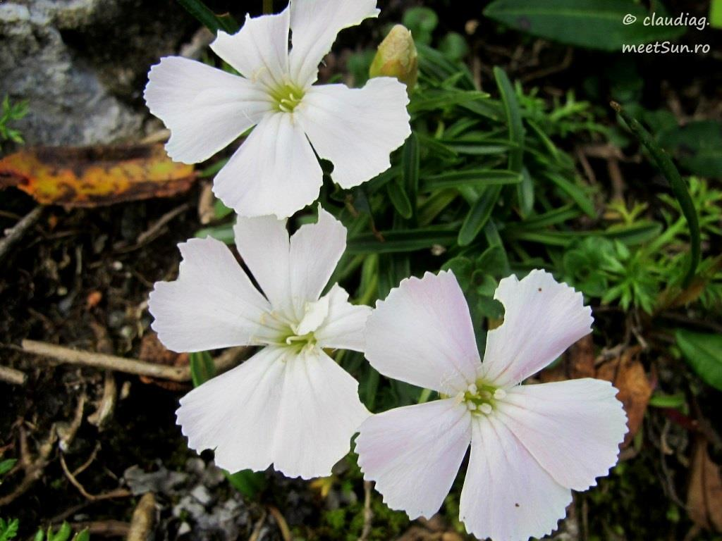 Dianthus alpinus alba