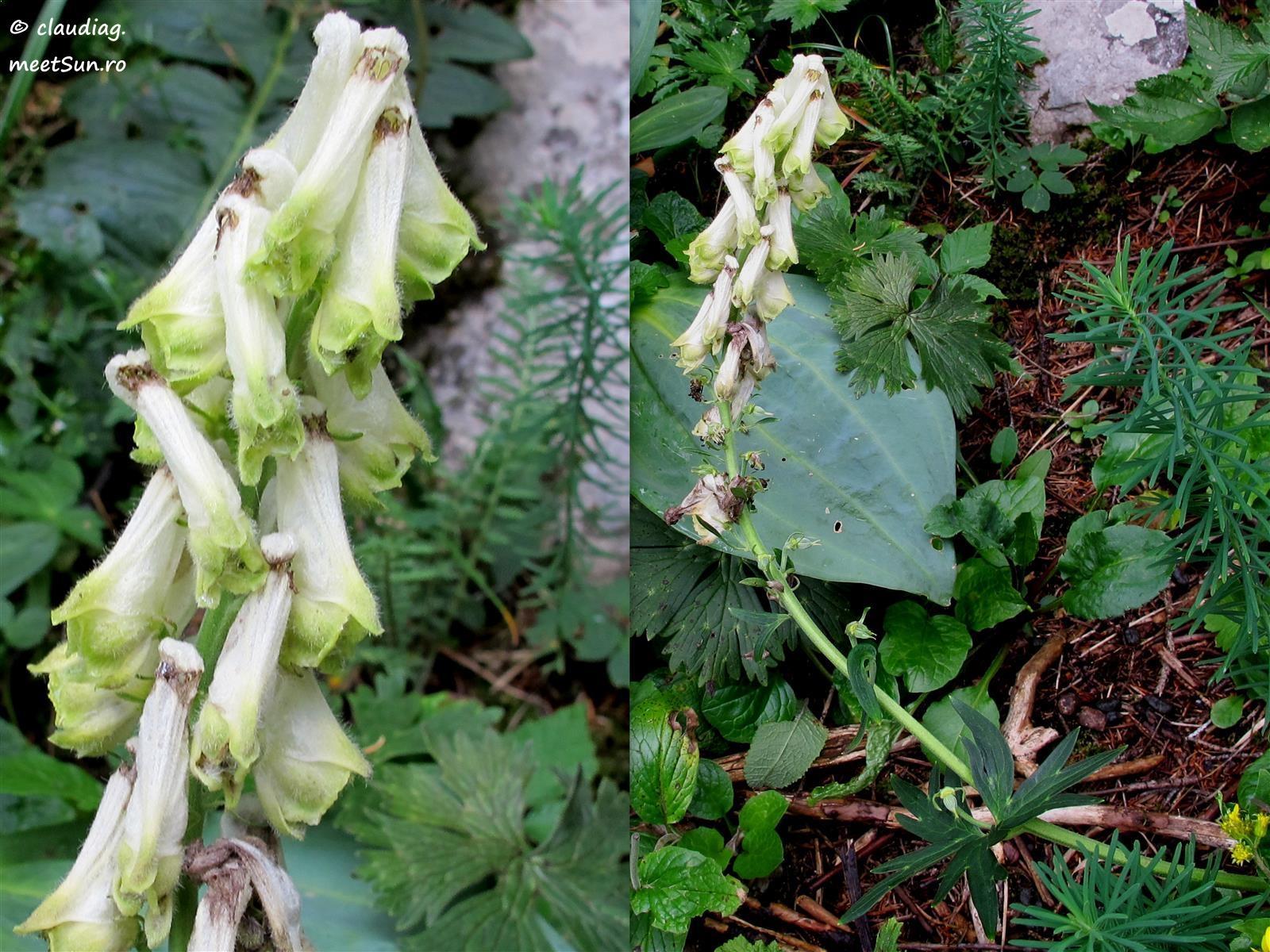 Aconitum lycoctonum