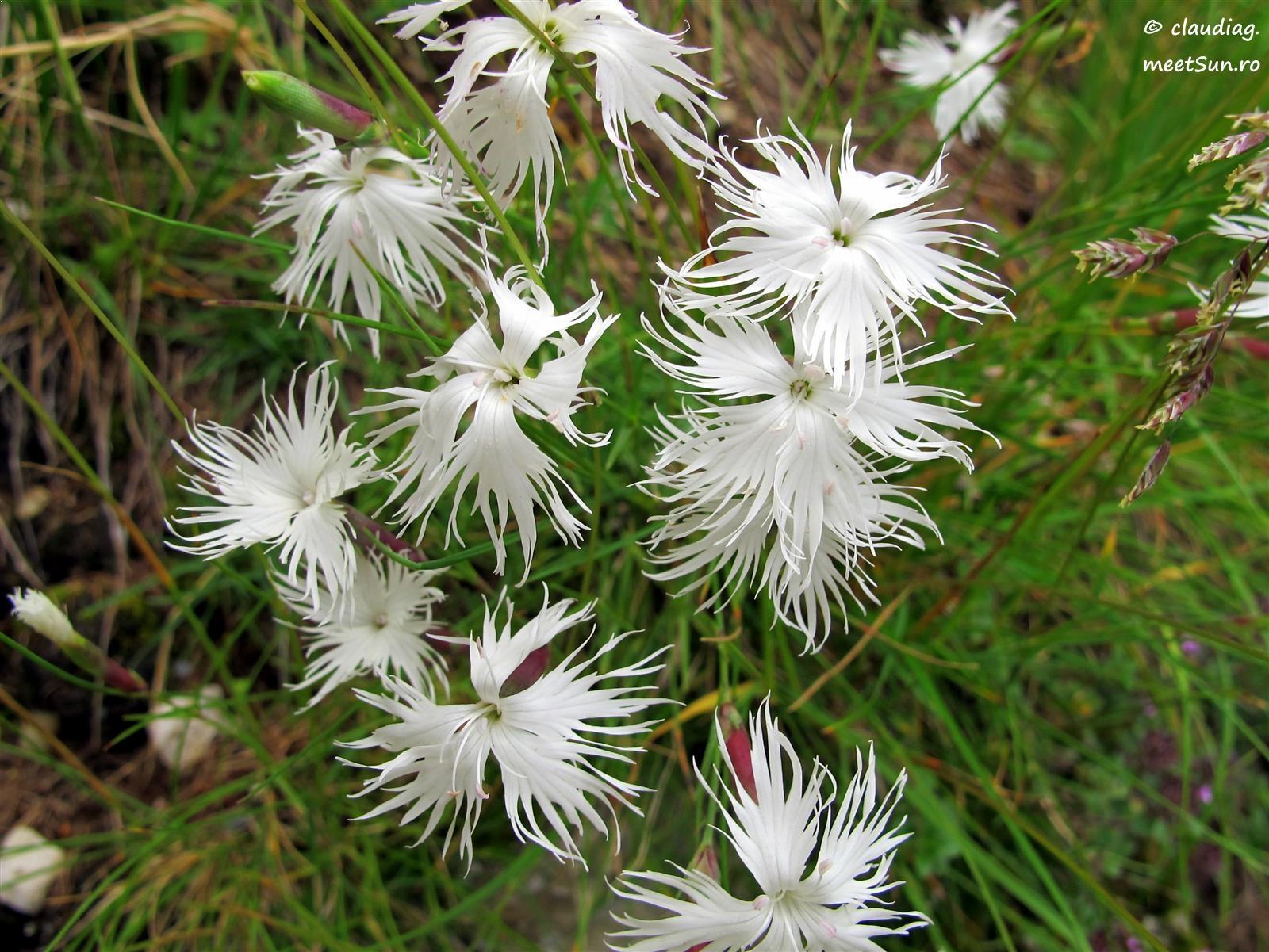 Dianthus spiculifolius