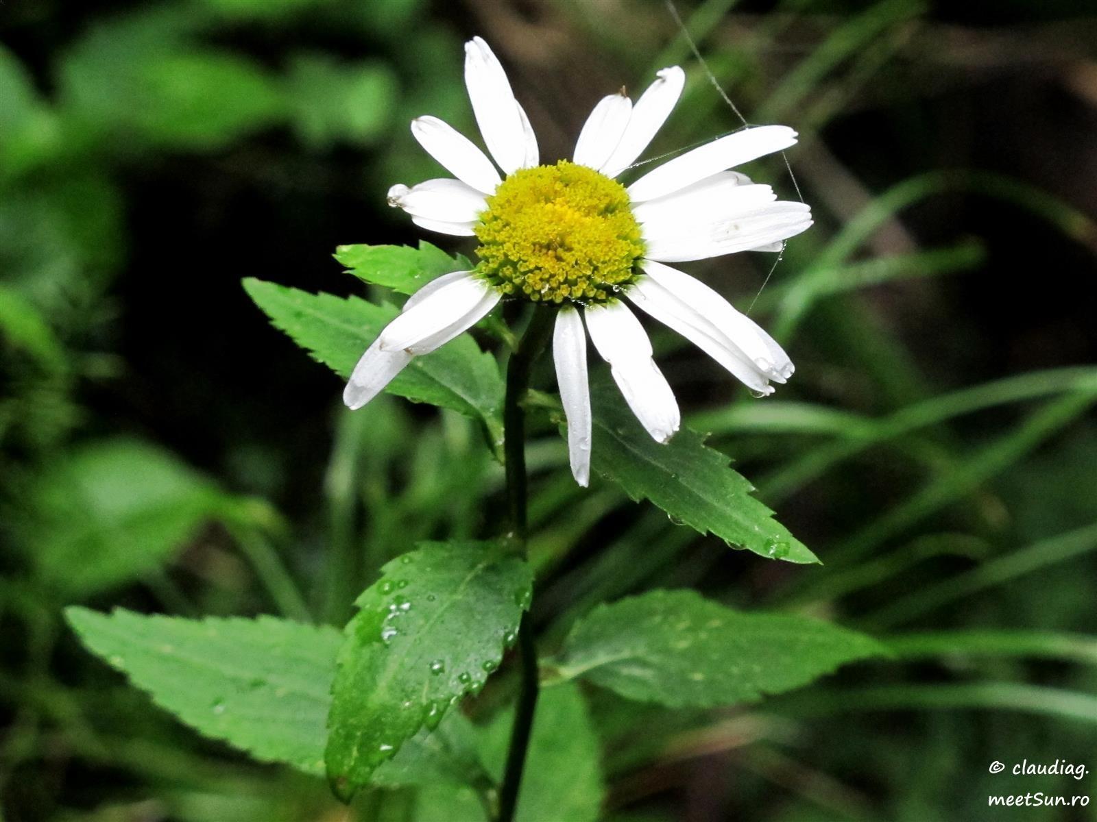 flori-albe-136-margareta.jpg