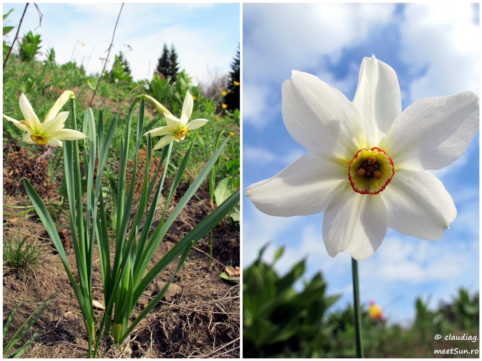 Narcissus radiiflorus