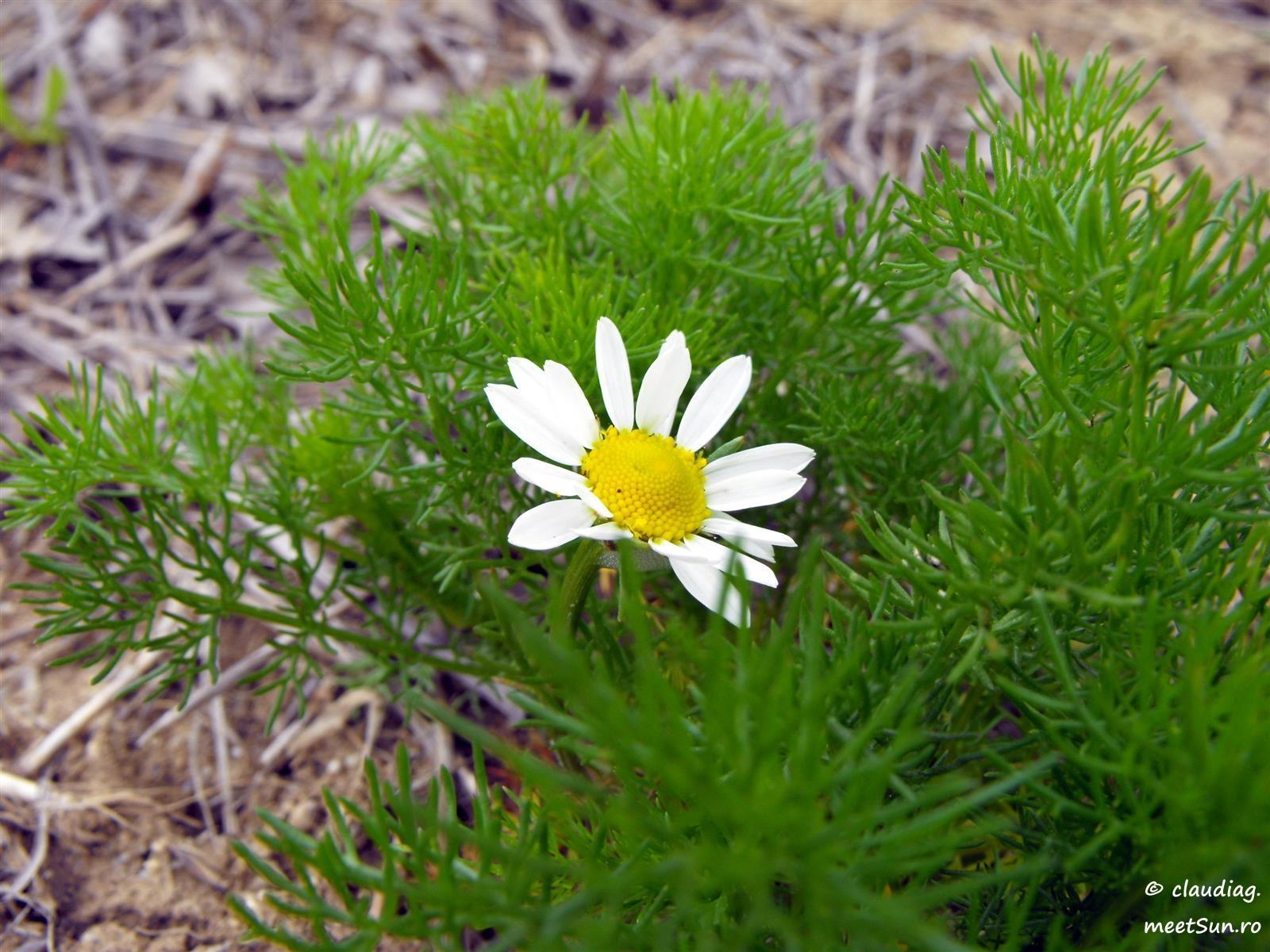 flori-albe-141-Anthemis nobilis.jpg