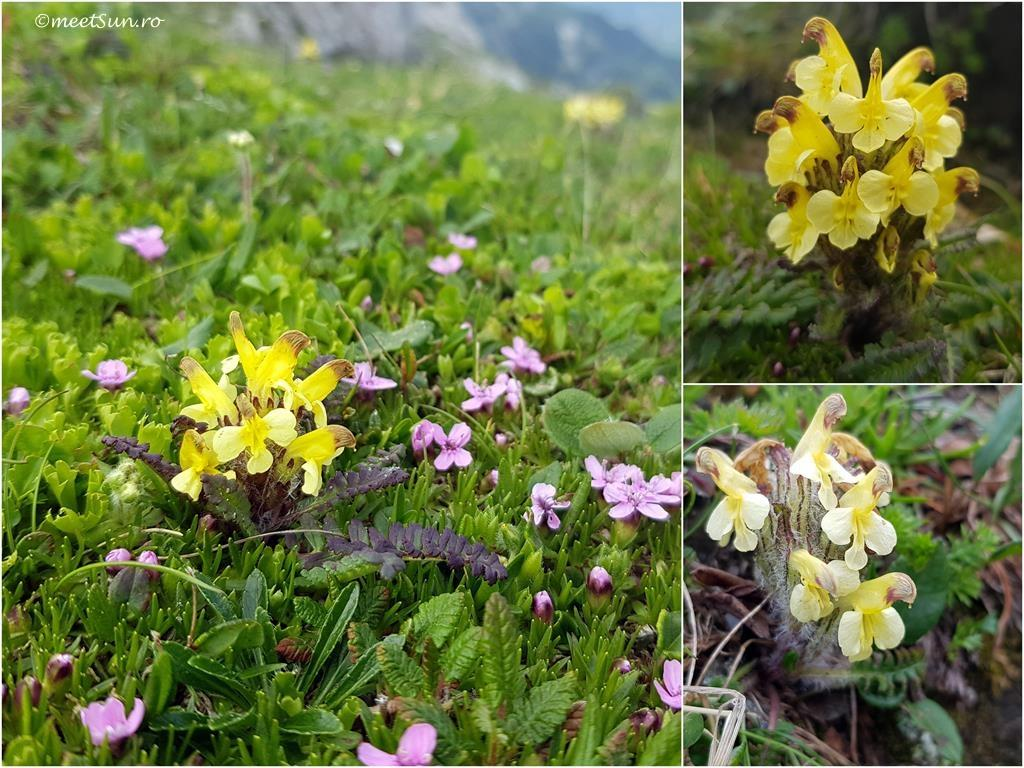 Pedicularis oederi