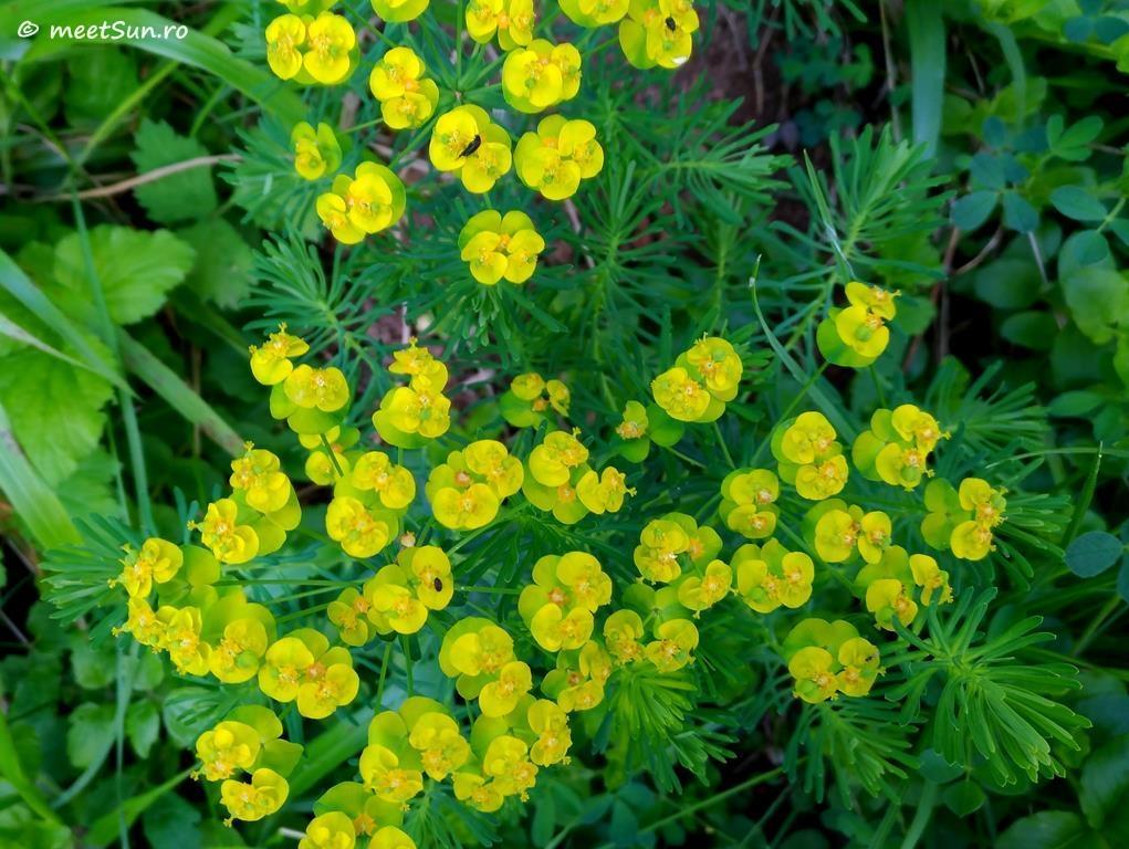 flori-galbene-097-Euphorbia