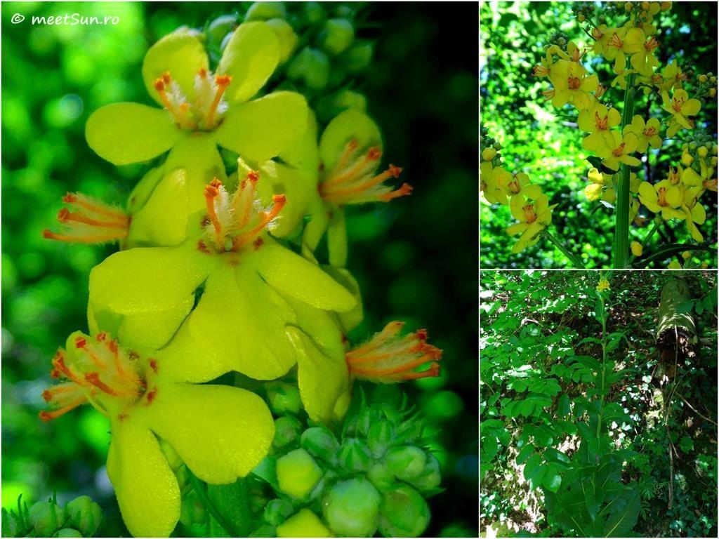 flori-galbene-098-Verbascum