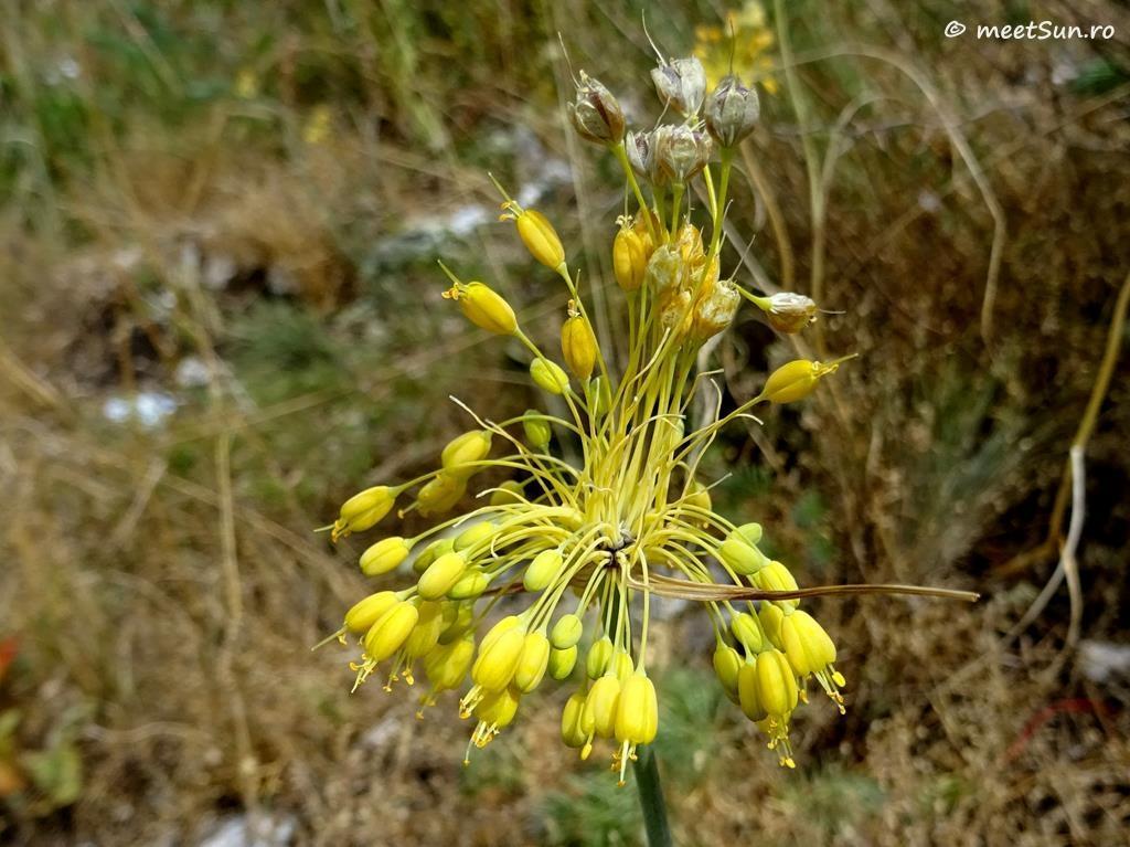 flori-galbene-101-Allium-flavum