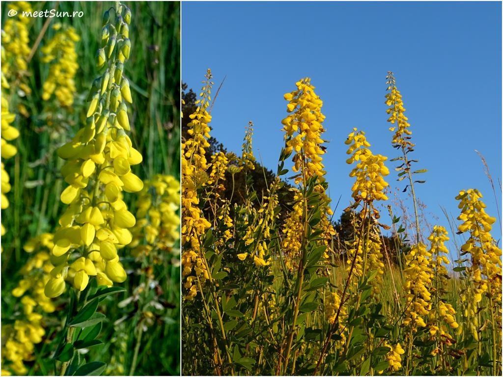 flori-galbene-105-Cytisus-nigricans