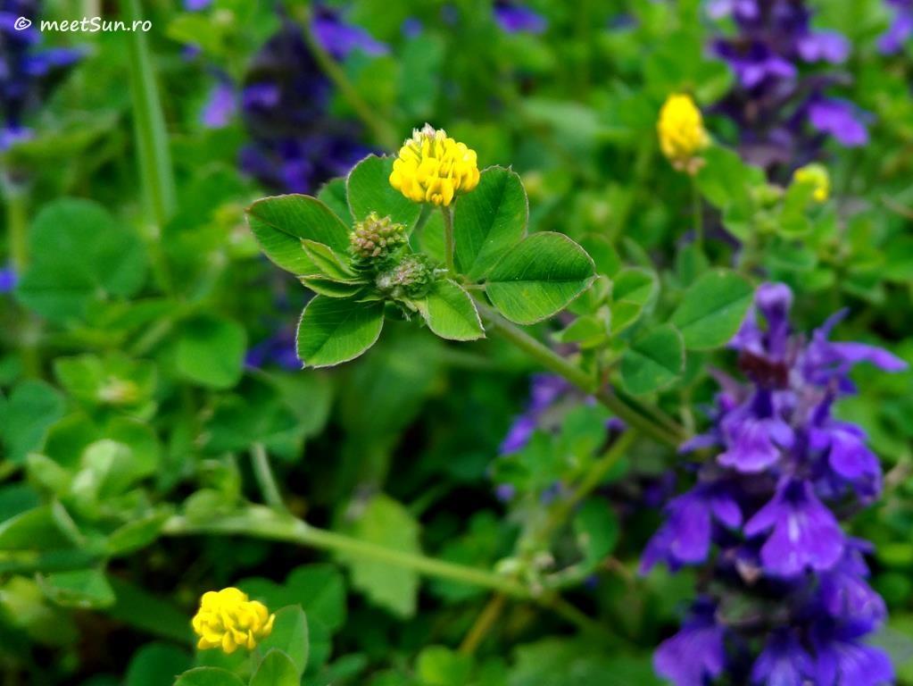 flori-galbene-112-Trifolium