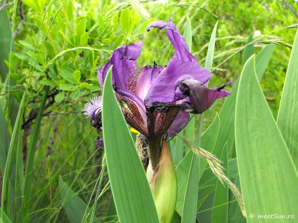 flori-mov-004-iris-aphylla