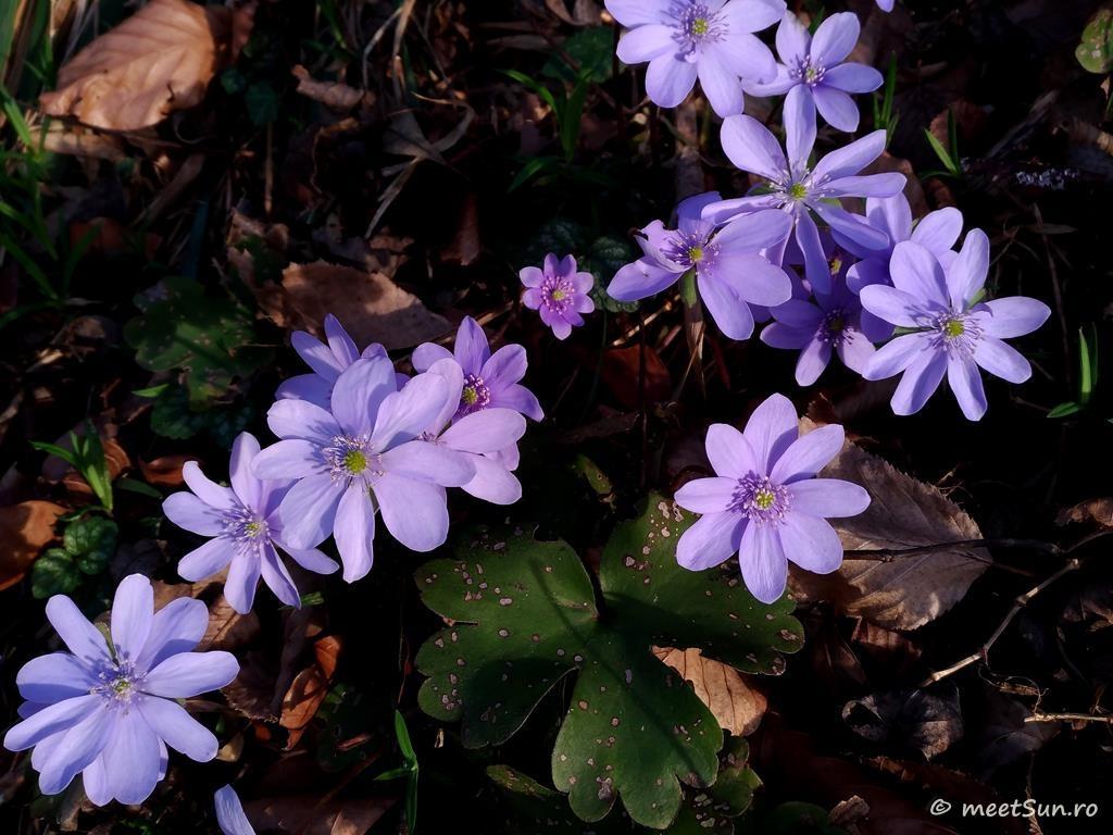 flori-mov-005-hepatica