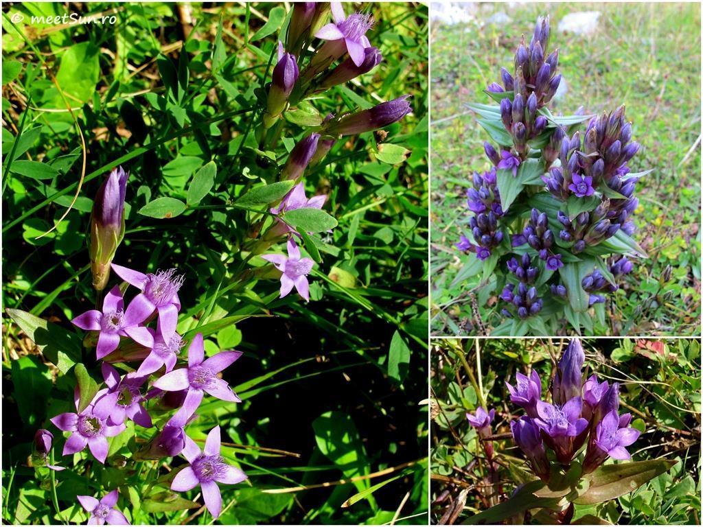 flori-mov-007-gentianella-austriaca