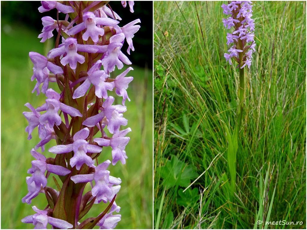 flori-mov-orhidee