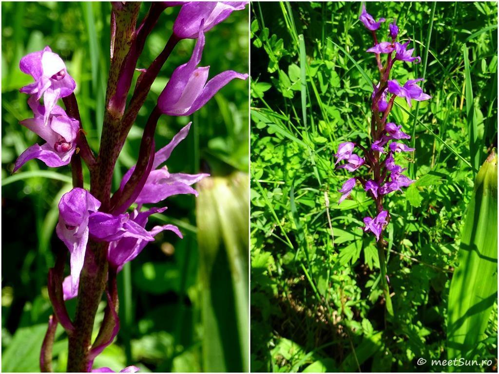 flori-mov-027-orhidee