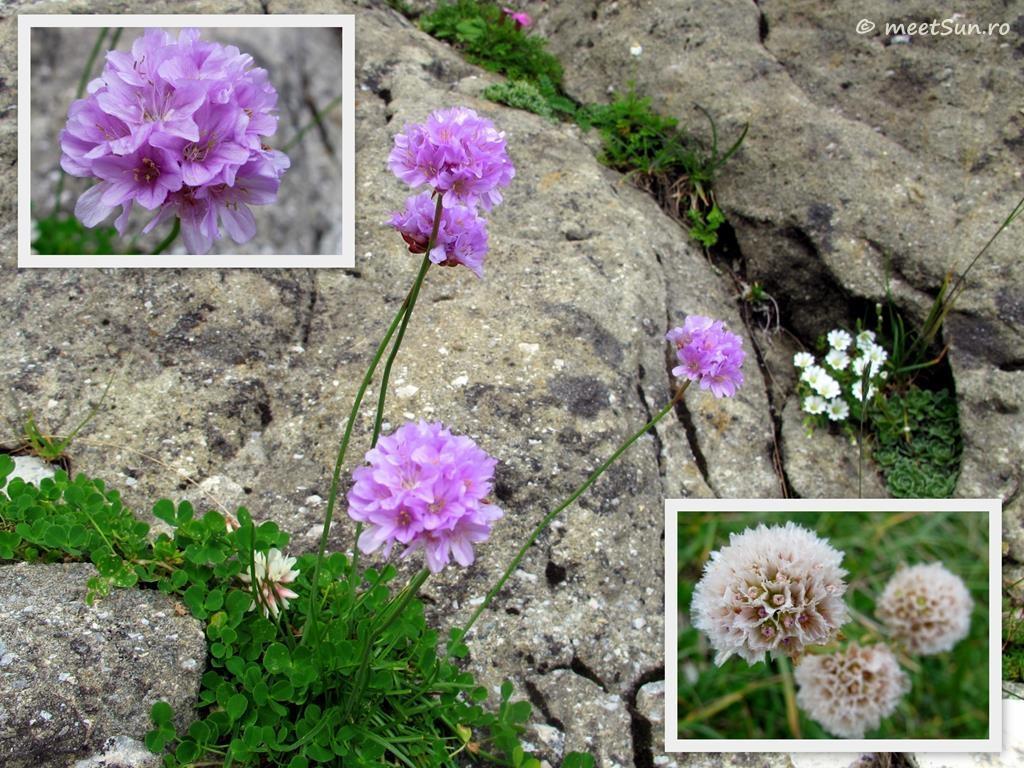 flori-mov-034-armeria-alpina
