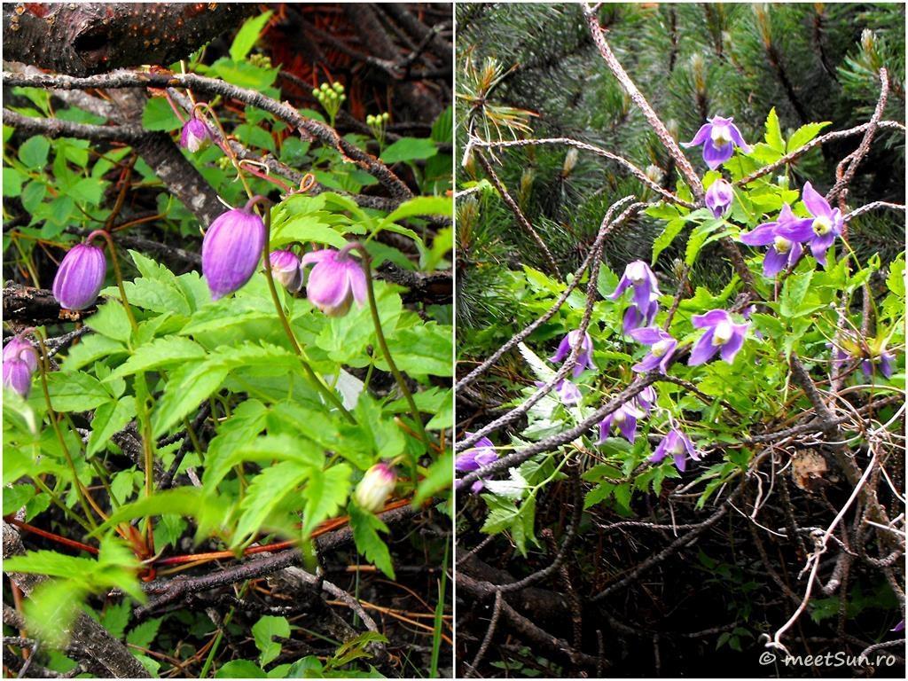 flori-mov-039-clematis-alpina