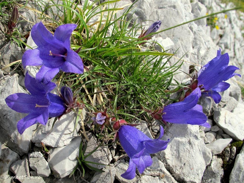 flori-mov-046-campanula