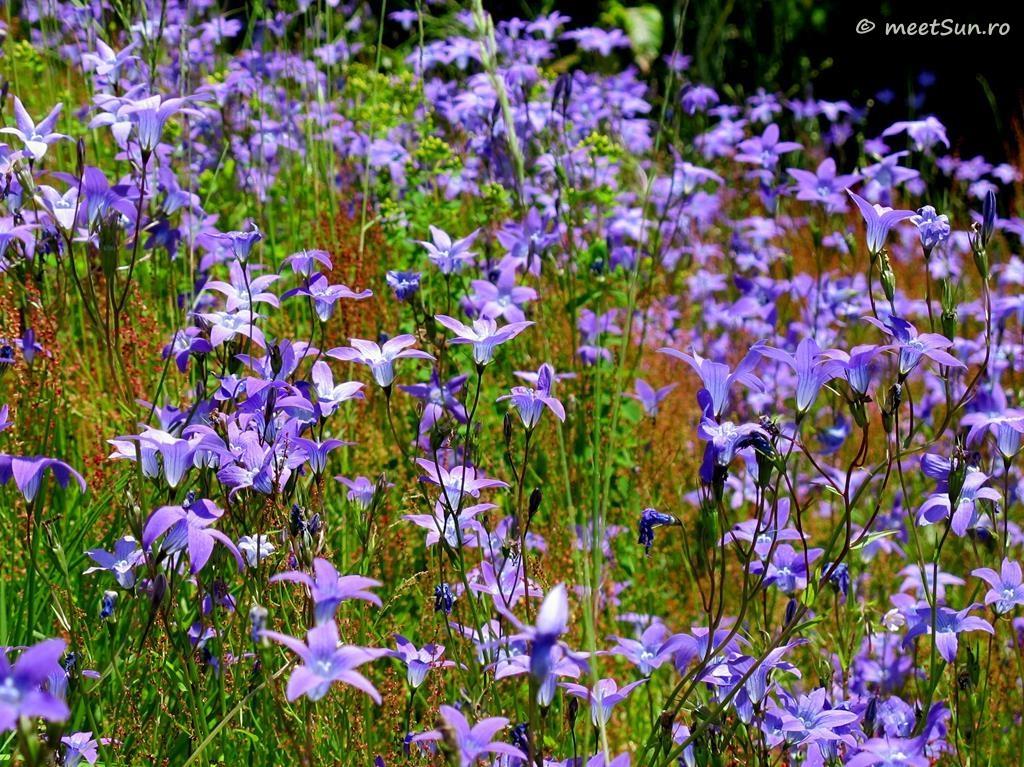flori-mov-050-campanula
