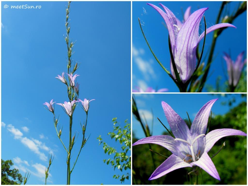 flori-mov-056-campanula